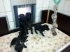 Labradorwelpen von Tine, 4,5 Wochen alt.