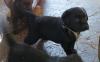 Labradorwelpe von Tine, 4,5 Wochen alt.